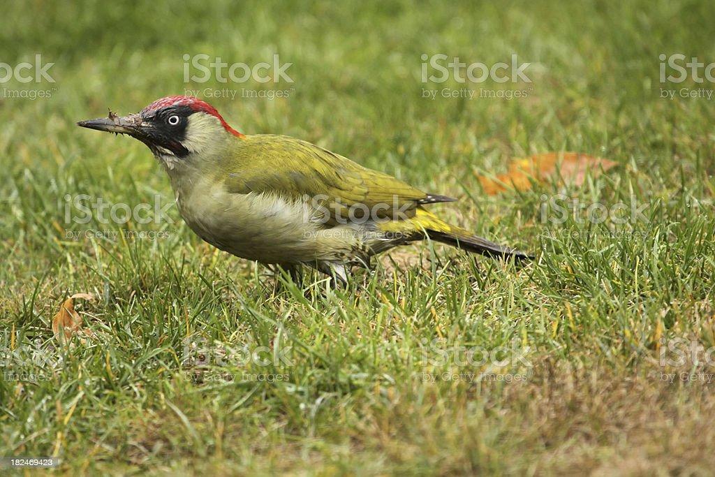 green woodpecker royalty-free stock photo