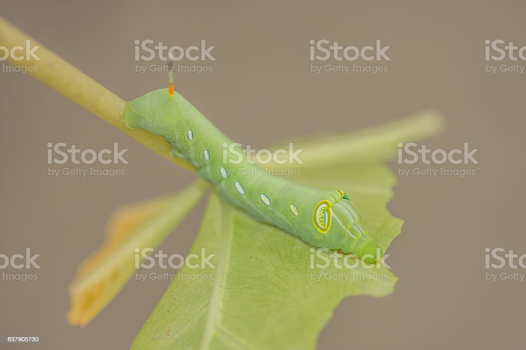 Green worm, Caterpillars that eat leaves . Daphnis nerd. stock photo