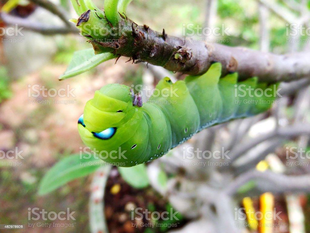 Green worm eat leaf stock photo