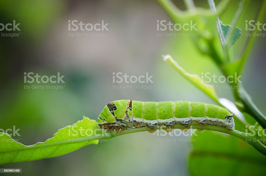 green worm eating green leaf stock photo