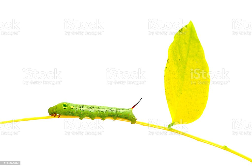 Green  worm   on plant stick on white background . stock photo