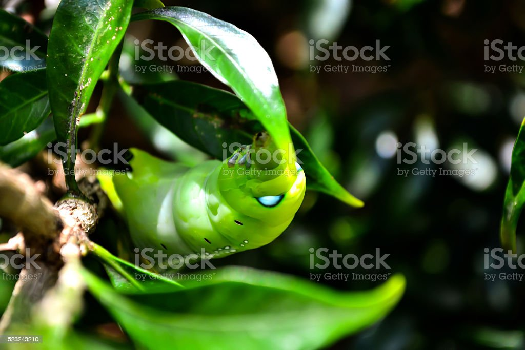 Green worm want to eat leave stock photo
