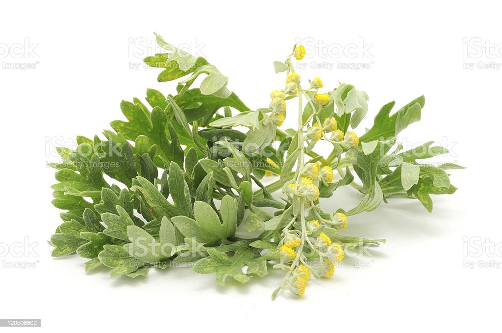 Green wormwood on white background stock photo