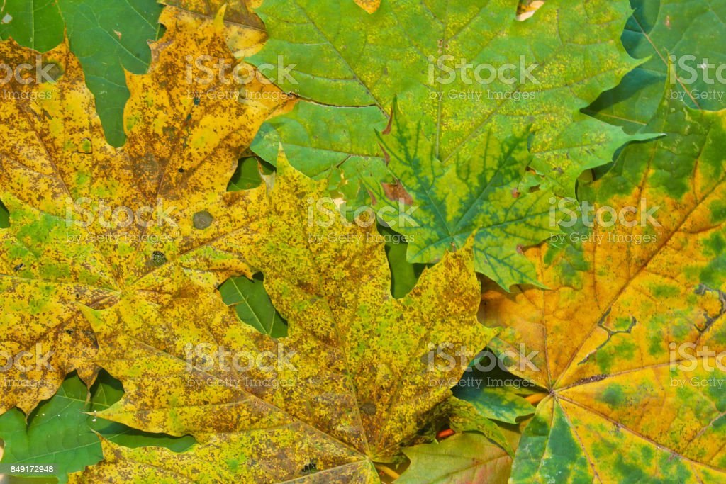 Green, yellow and brown maple leaves texture stock photo
