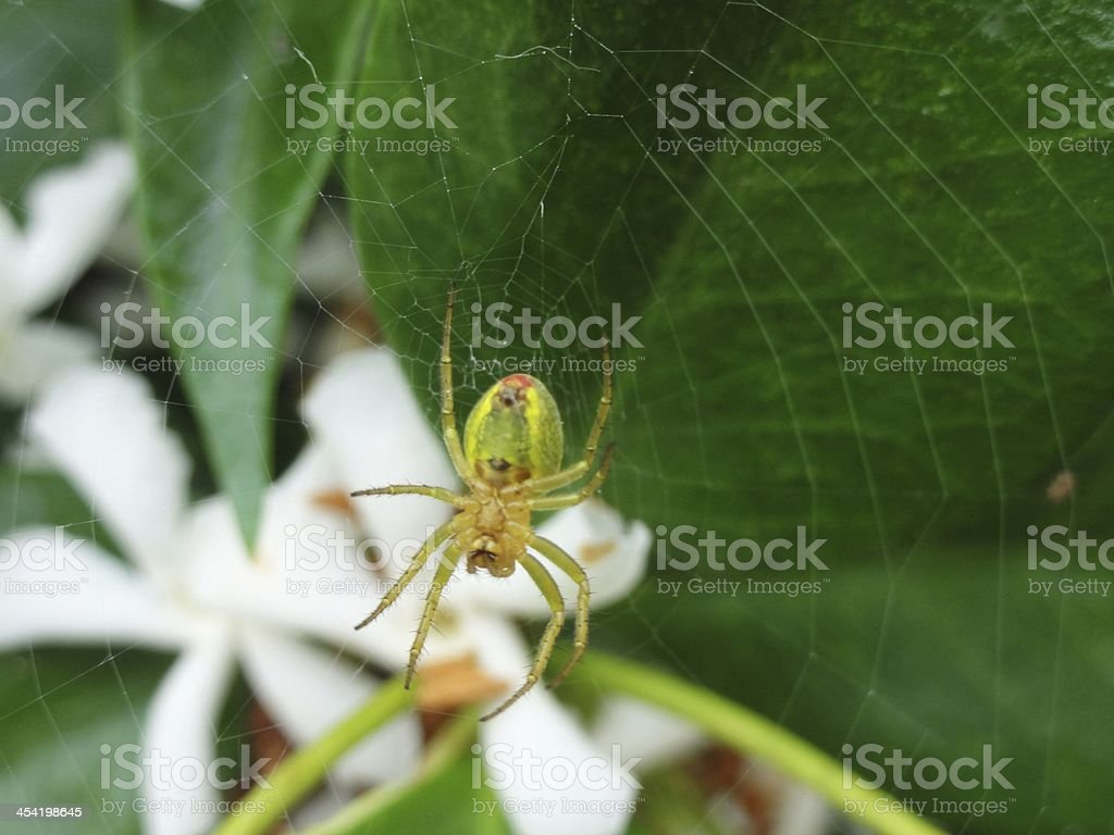 Green, yellow, red spider making web on jasmine flowers royalty-free stock photo