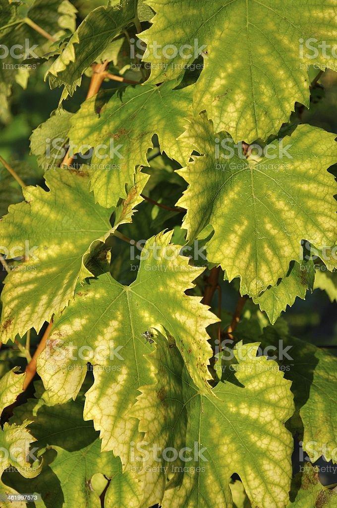 Zielone liście winorośli na żółtym tle zbiór zdjęć royalty-free
