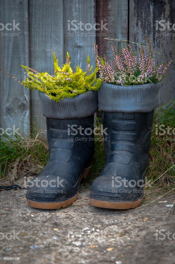 Green yellow violet heath growing in black boots stock photo