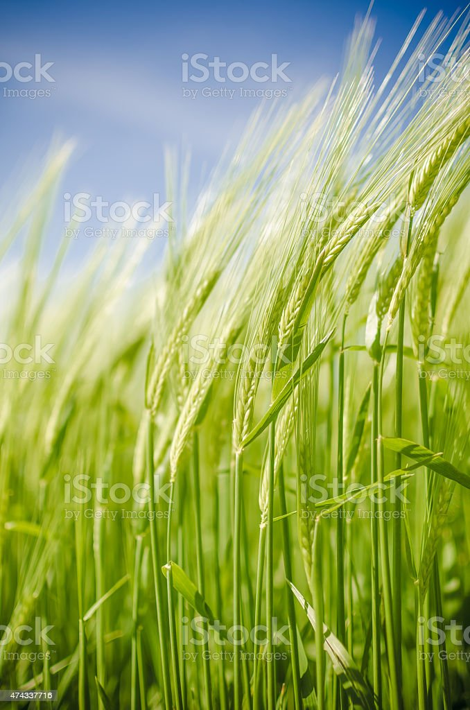 Green young ears of barley stock photo