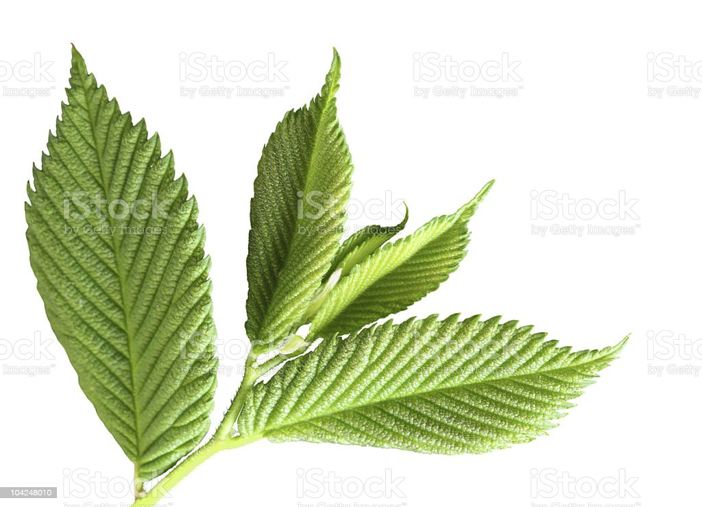 Green Young Leaves royalty-free stock photo