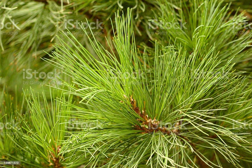 Green young pin royalty-free stock photo