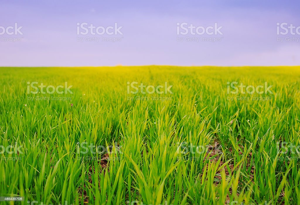 Green young sprouts in the field stock photo