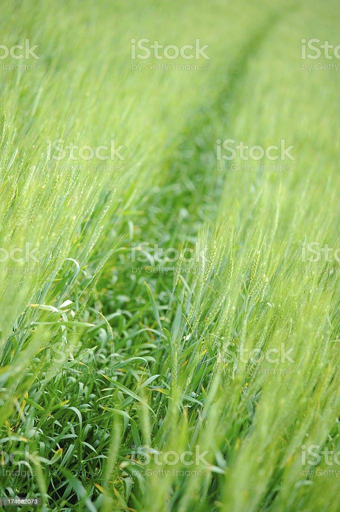 green young wheat closeup stock photo