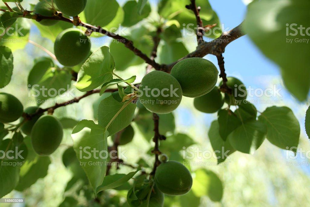 green yuong apples stock photo