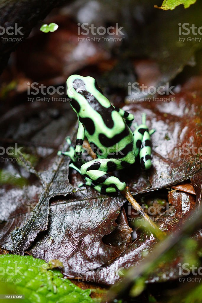 Green-and-black Poison Dart Frog stock photo