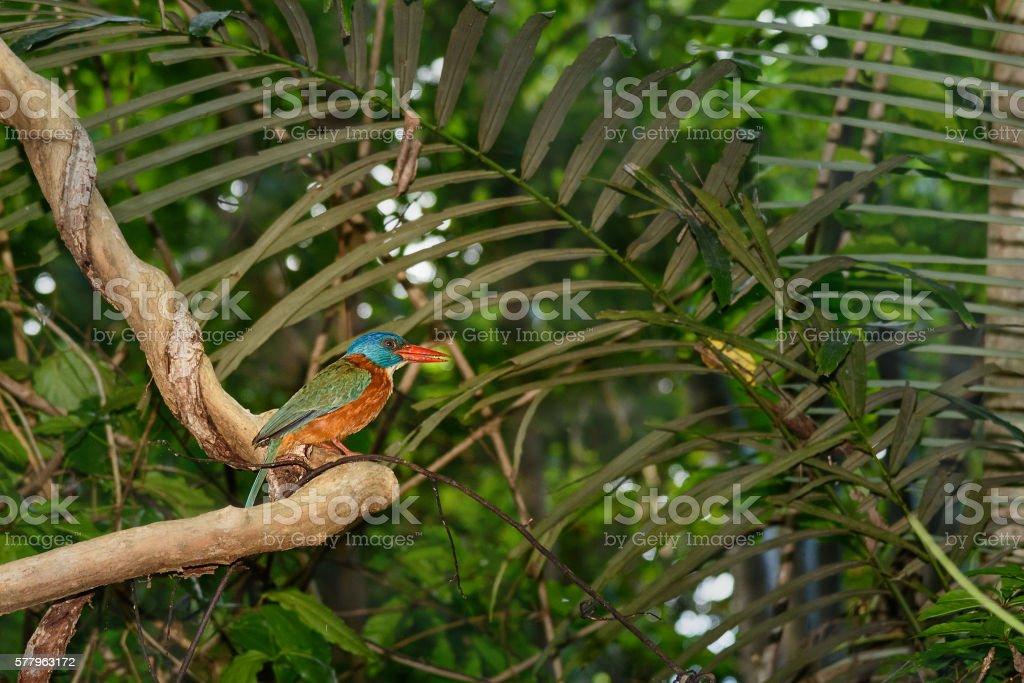 Green-backed Kingfisher bird stock photo