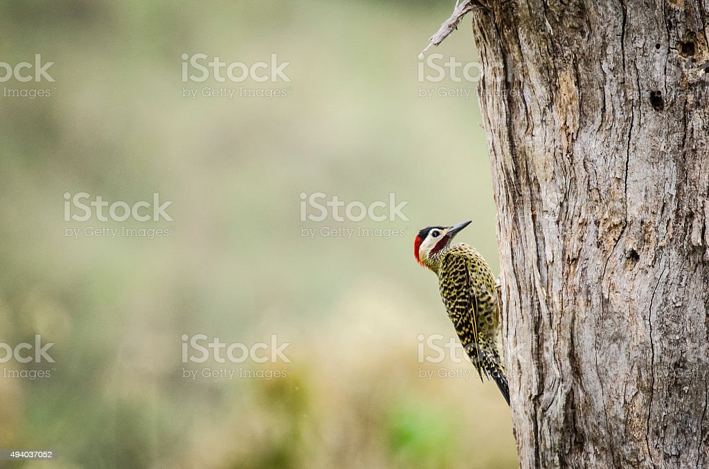 Green-barred Woodpecker stock photo