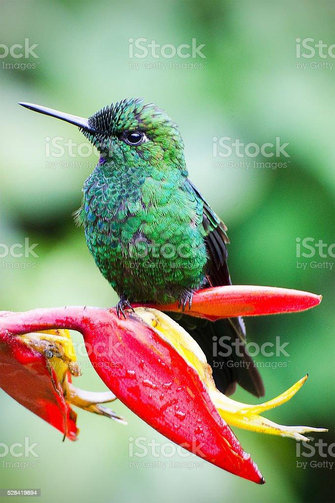 green-crowned brilliant hummingbird, Heliodoxa jacula stock photo