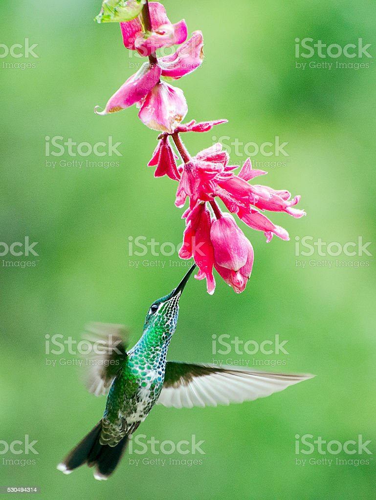 green-crowned brilliant hummingbird, Heliodoxa jacula stock photo