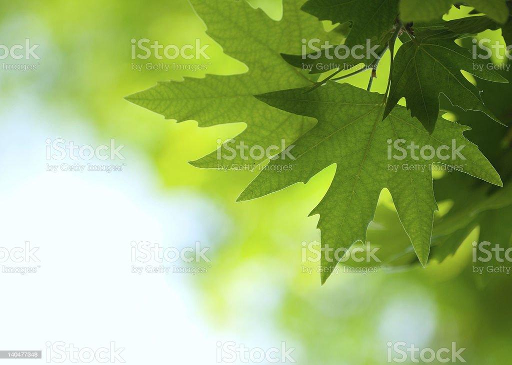 Greenery background, spring, desktop image of leaves royalty-free stock photo