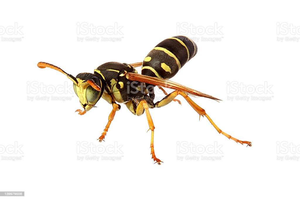 Green-eyed wasp royalty-free stock photo