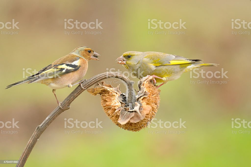 Greenfinch and chaffinch stock photo
