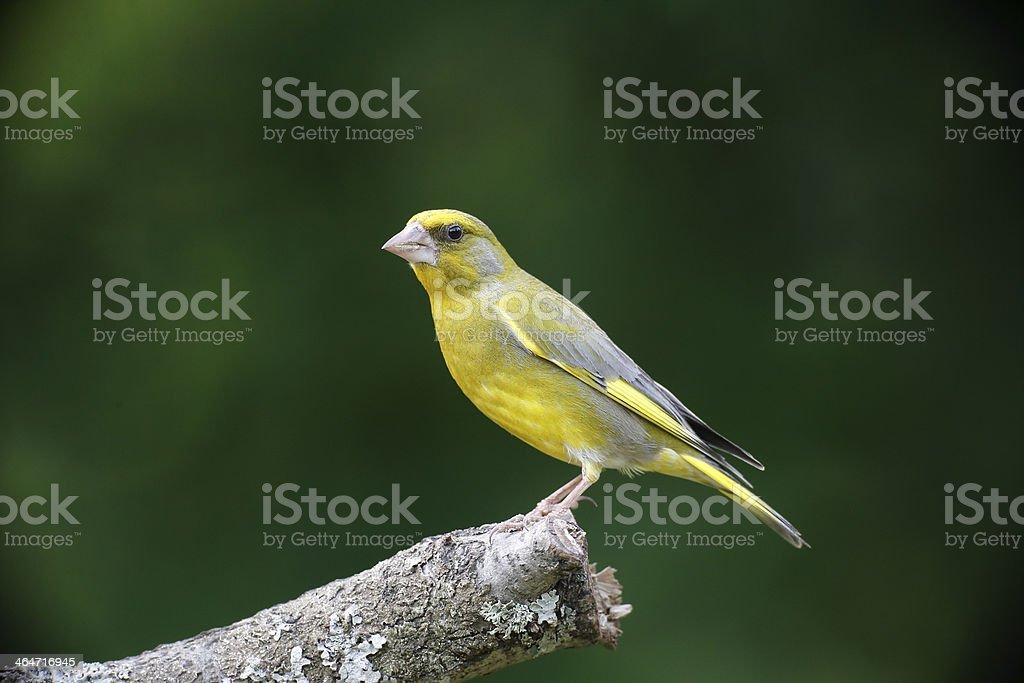 Greenfinch, Carduelis chloris, stock photo