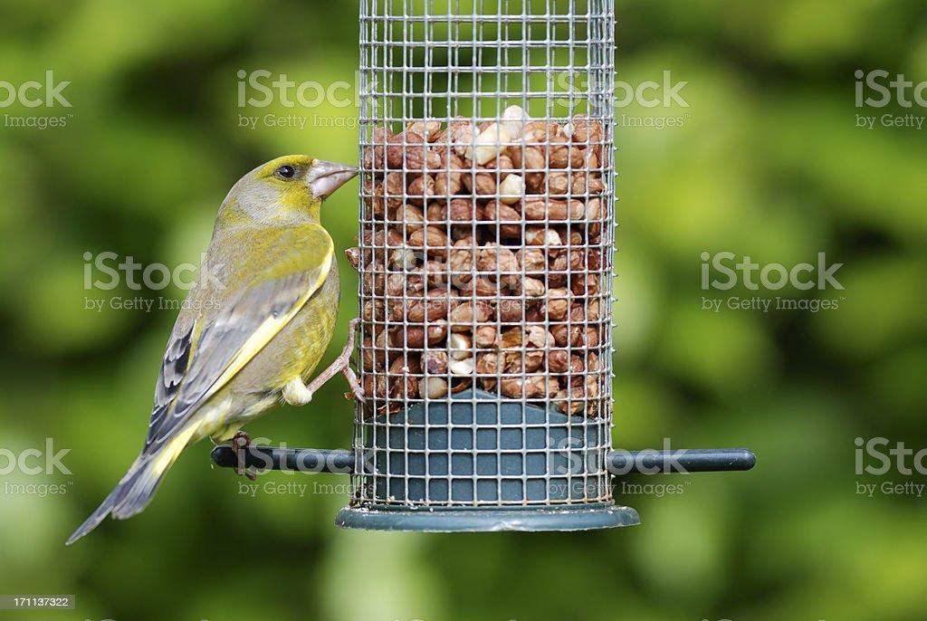Greenfinch feeding on peanut feeder stock photo