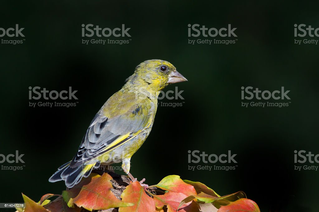 Greenfinch in autumn stock photo