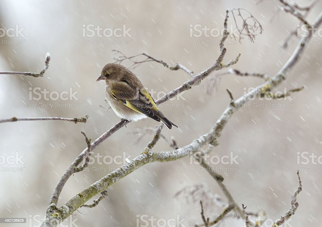 Greenfinch in winter day stock photo