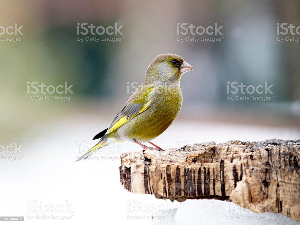 Greenfinch male on stump posing stock photo