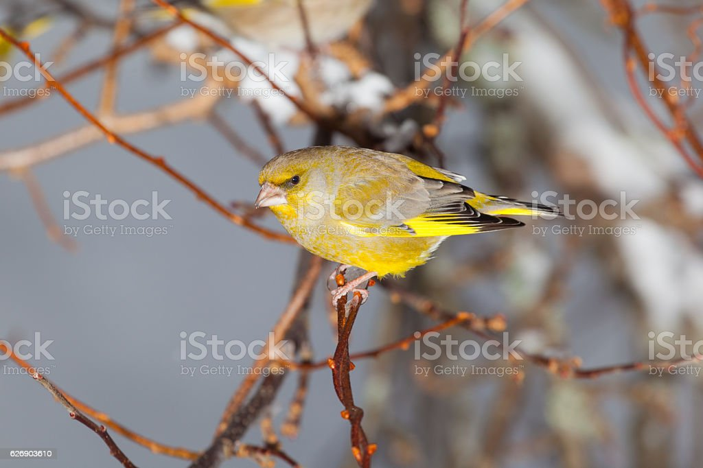 greenfinch on a branch. stock photo