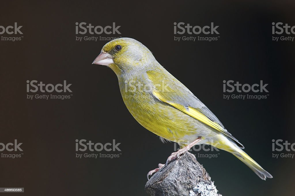 Greenfinch on a stump stock photo