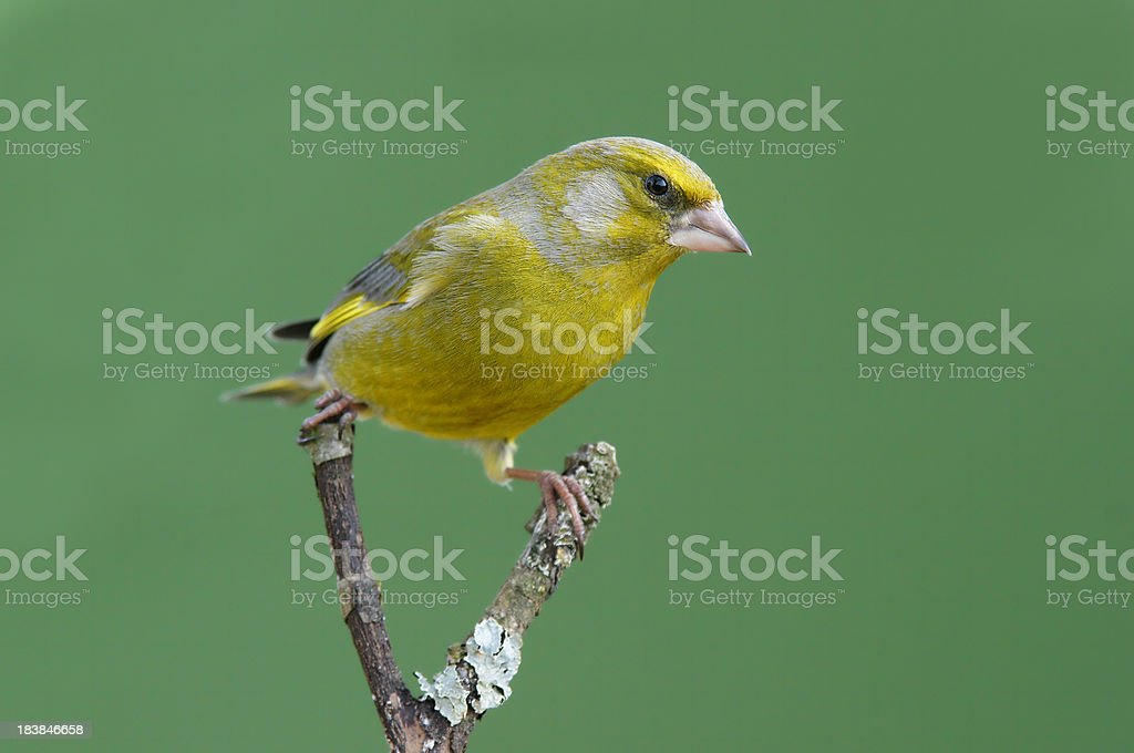 Greenfinch on a twig stock photo