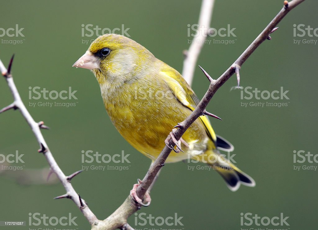 Greenfinch (Carduelis chloris) royalty-free stock photo
