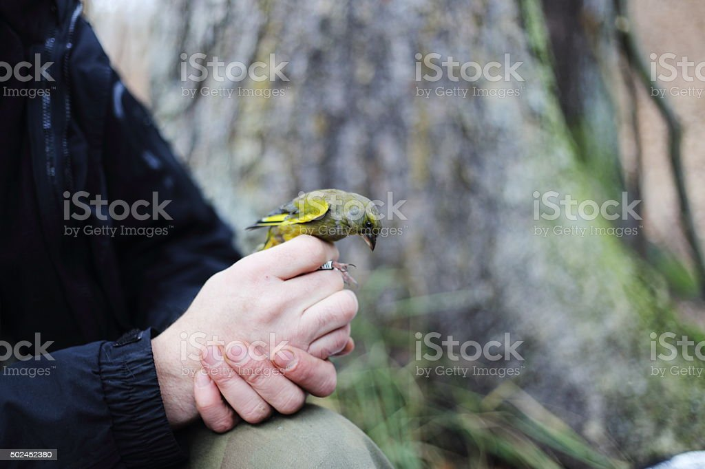 Greenfinch royalty-free stock photo