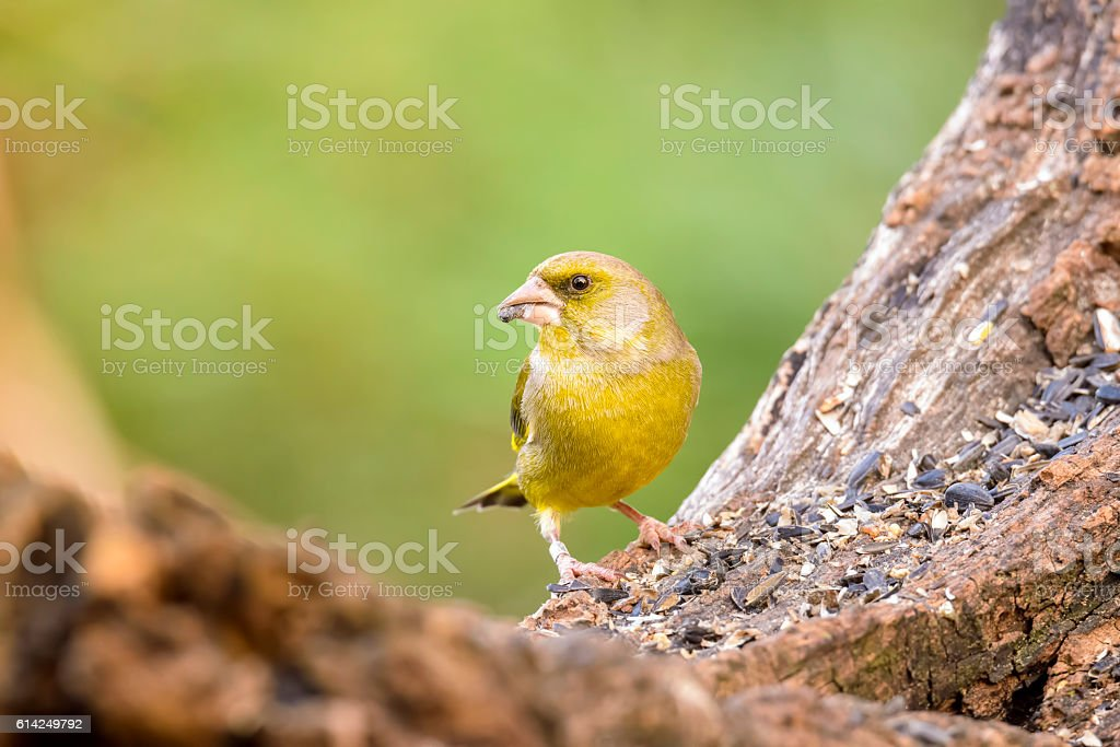 greenfinch stock photo