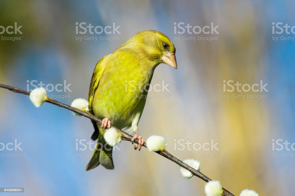 Greenfinch (Chloris chloris) stock photo