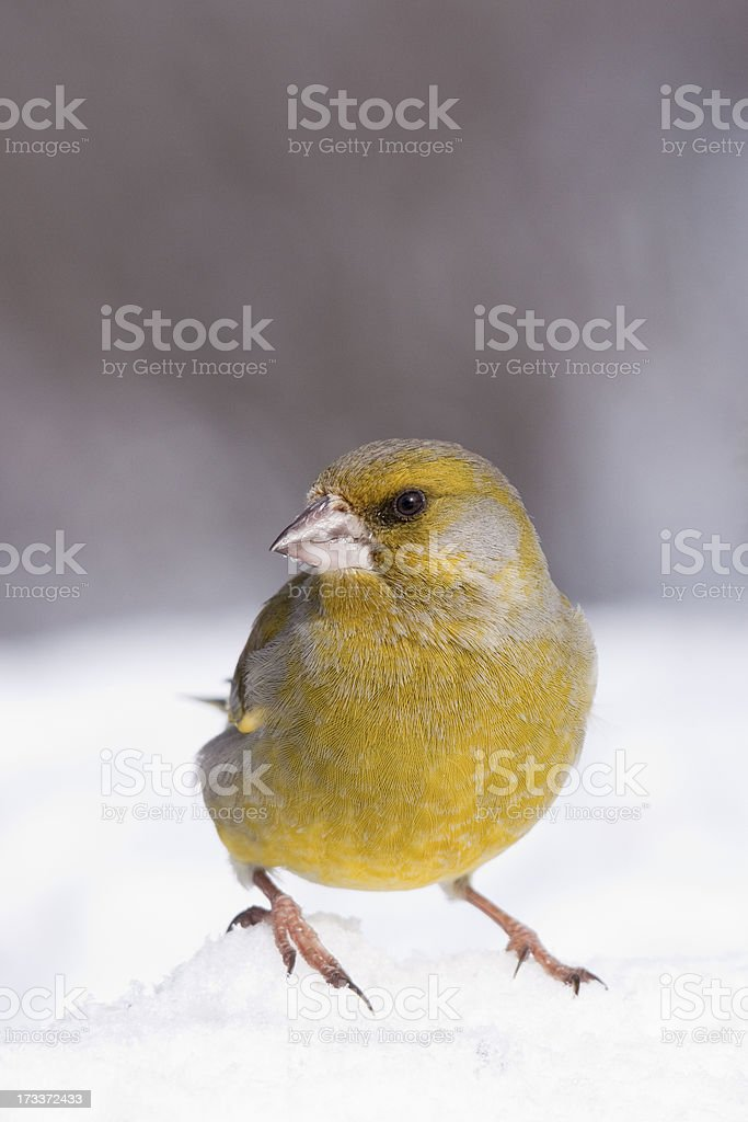 Greenfinch portrait stock photo
