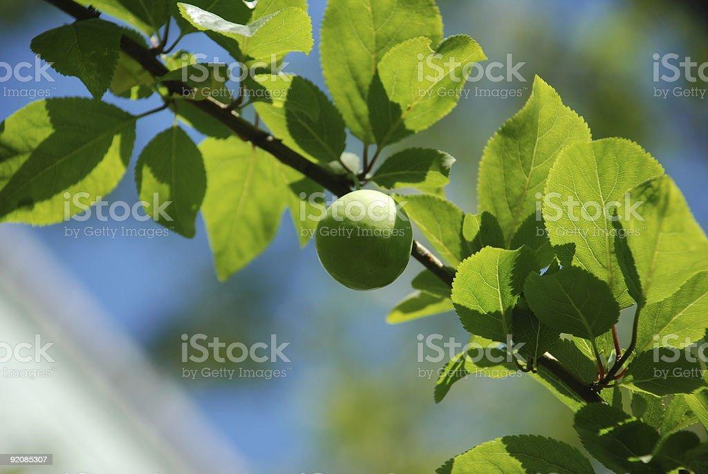 Greengage on the tree stock photo