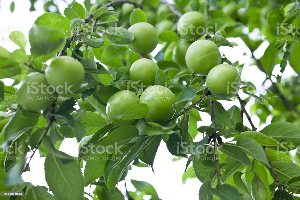 Greengage plums in the orchard stock photo