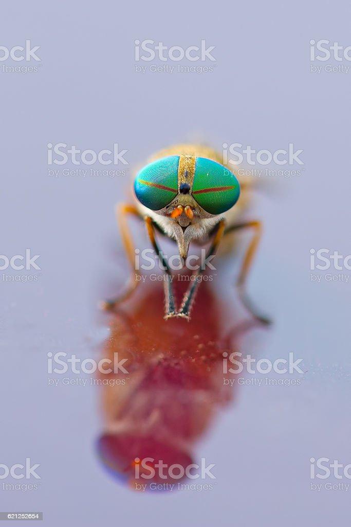 Greenhead Fly stock photo