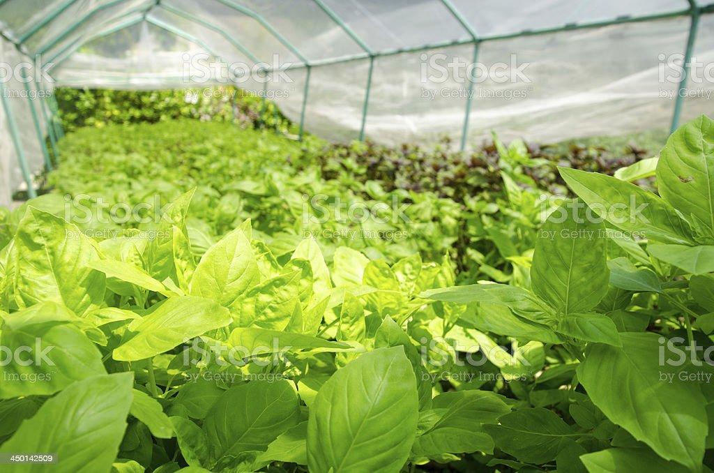 Greenhouse Basil royalty-free stock photo