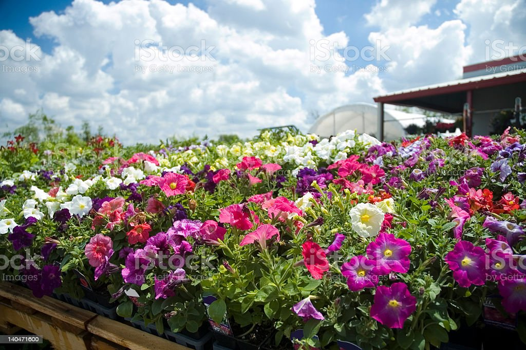Greenhouse containing colorful flowers stock photo