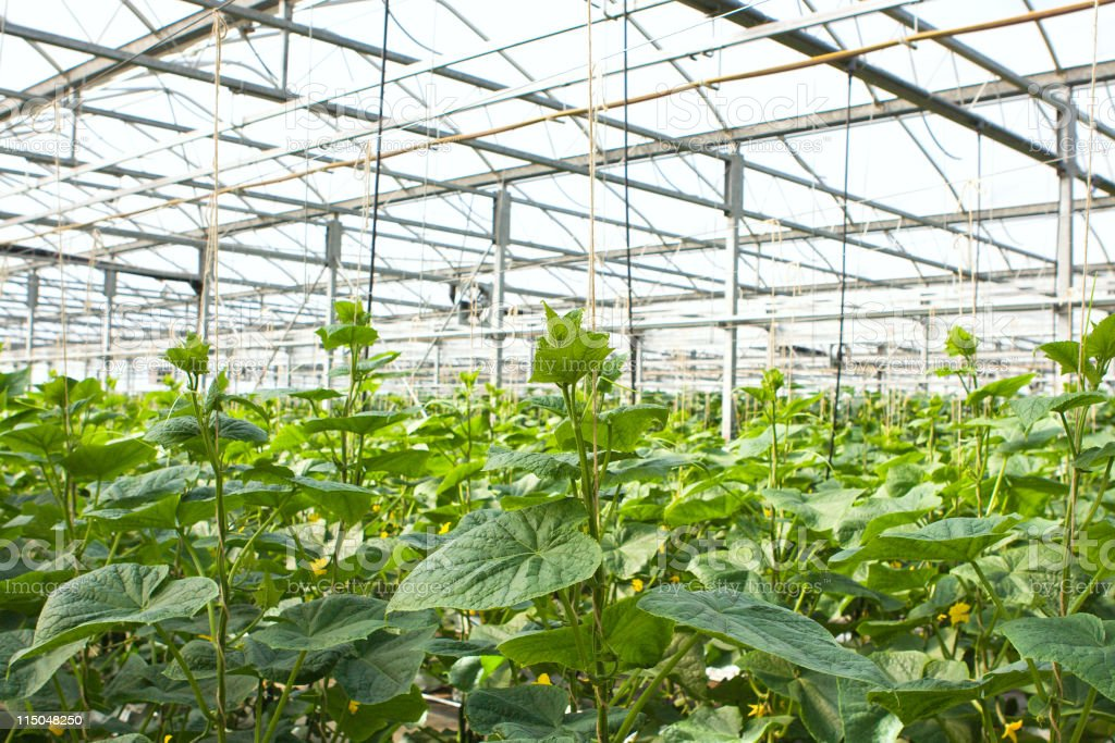 Greenhouse Cucumbers royalty-free stock photo