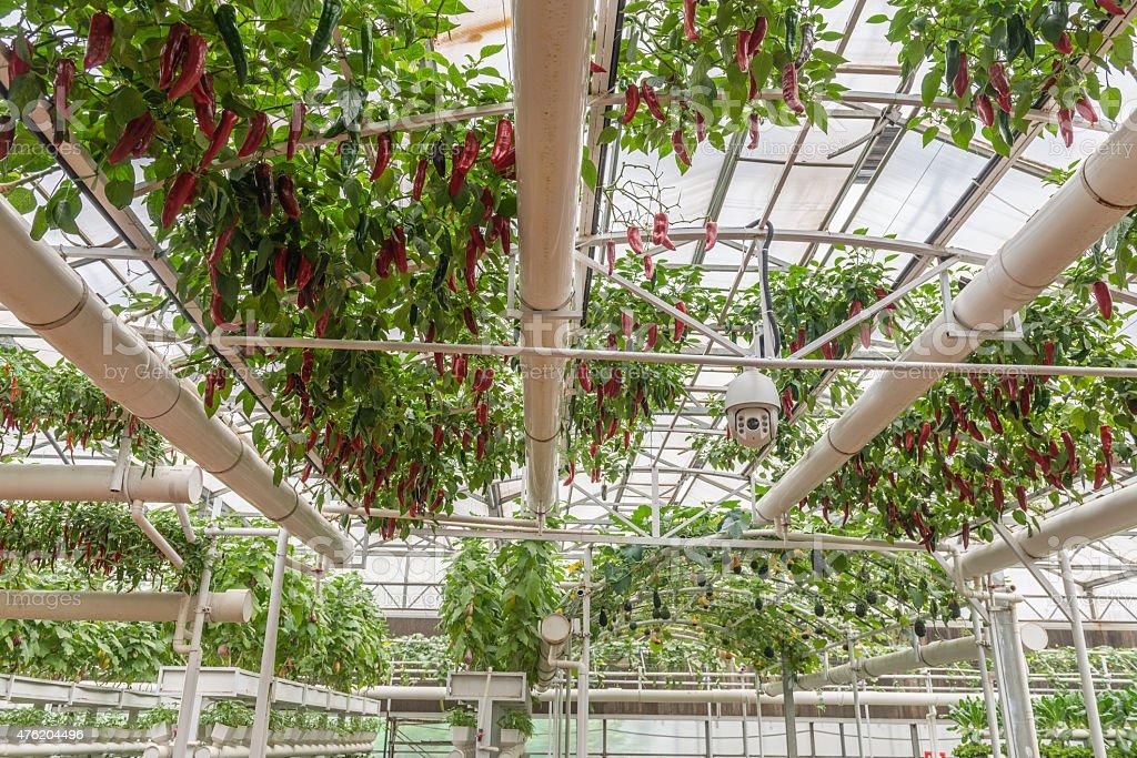 Greenhouse Culture Surveillance stock photo