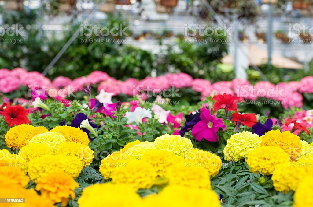 Greenhouse, Flowers in Bloom stock photo