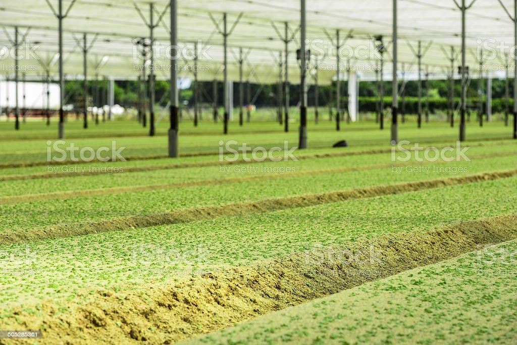 Greenhouse Incubator of the salad chews royalty-free stock photo