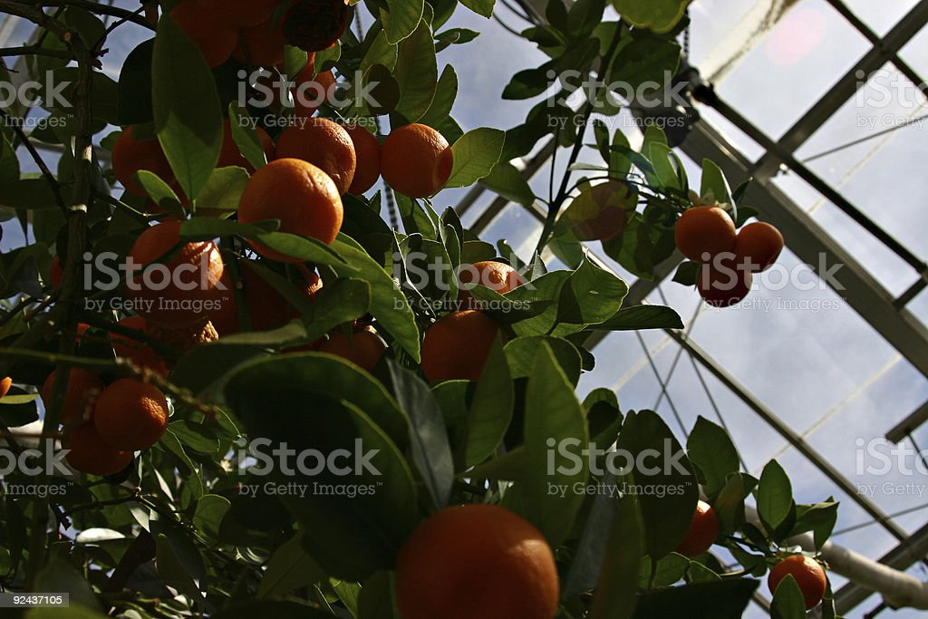 Greenhouse Oranges - Clementines royalty-free stock photo