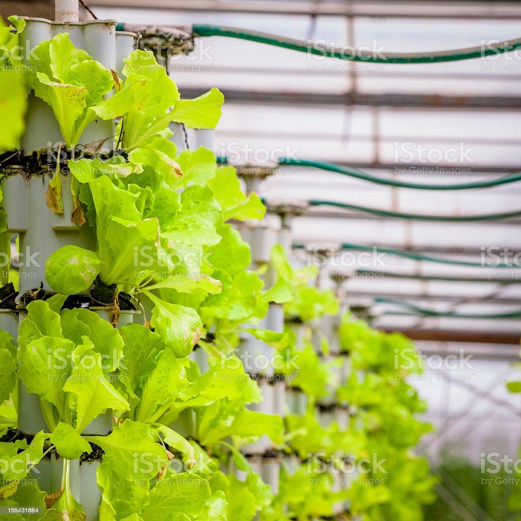Greenhouse (Lettuce farm) royalty-free stock photo