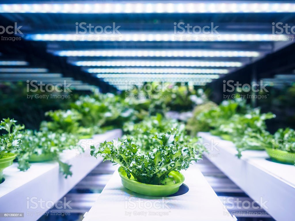 Greenhouse Plant row Grow with LED Light Indoor Farm Agriculture stock photo